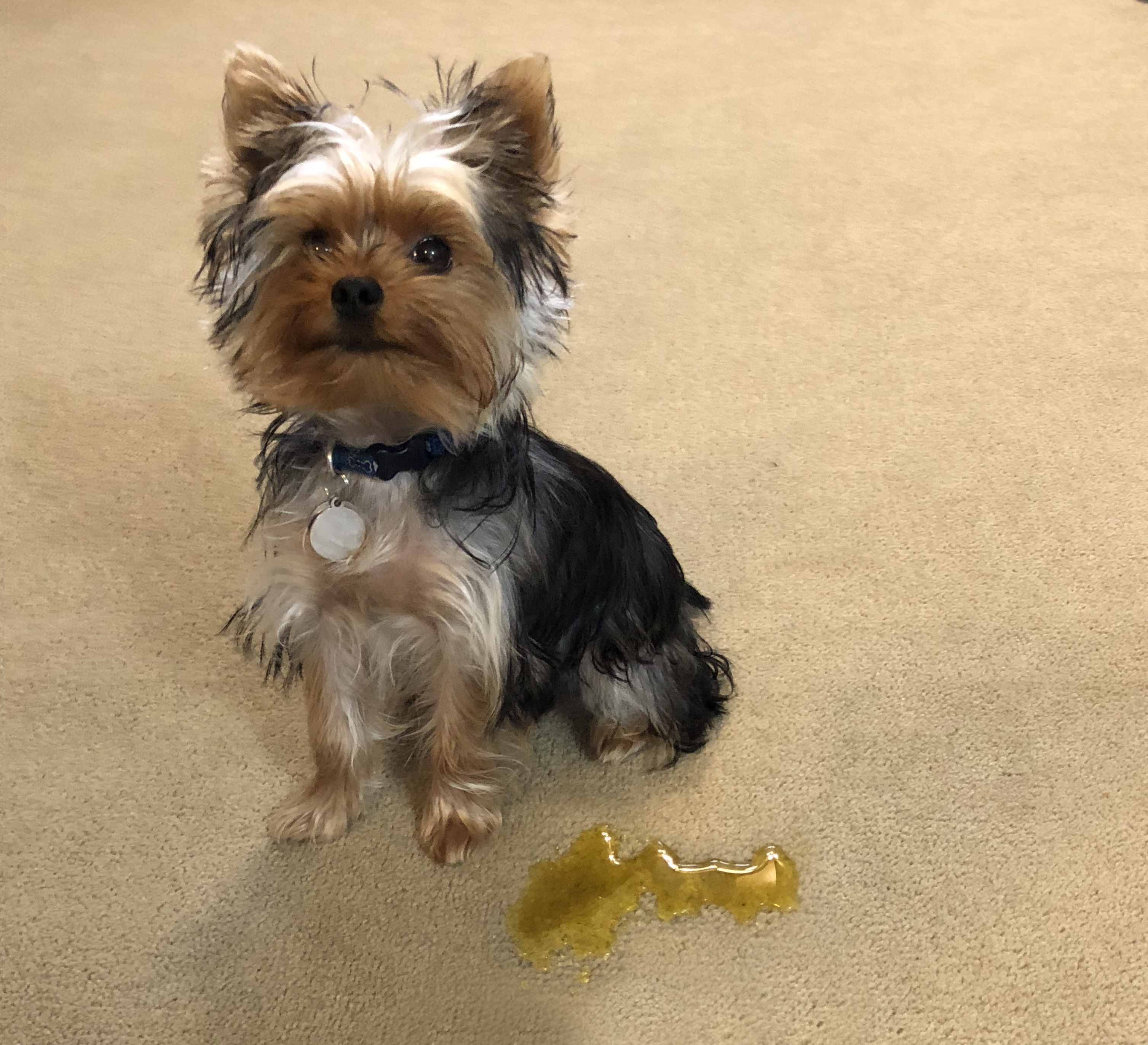 Pet Accidents In Fort Wayne